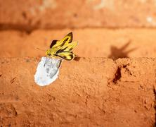butterfly perch on red brick. - stock photo