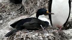 King cormorant is nesting Stock Footage
