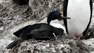 Stock Video Footage of King cormorant is nesting