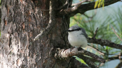 A lovely Nuthatch, looking for food Stock Footage