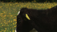 Cattle in English Farm Stock Footage