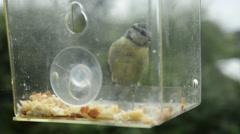 Blue tit  Cyanistes caeruleus Parus caeruleus in bird feeder Stock Footage