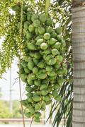are-ca nut palm on tree - stock photo