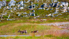 Wild reindeer in Norway Stock Footage