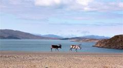 Wild reindeer in Norway - stock footage