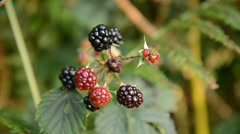 Picking bramble blackberry - stock footage