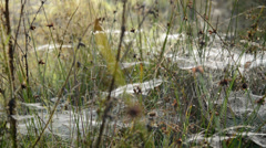 Spider webs with dew at dawn in autumn Stock Footage