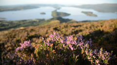 Scottish landscape - flowering heather - stock footage