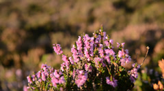 Flowering heather Stock Footage