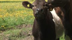 Calf in English Farm Stock Footage