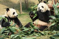 Two giant panda eating Stock Photos