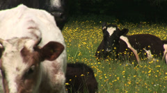Cattle in English Farm resting amongst flowers Stock Footage