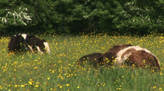 Cattle in English Farm in summer Stock Footage