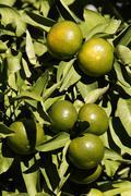 unripe oranges, close-up, dalmatia, croatia - stock photo