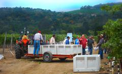 oakville station cabernet franc harvest 9/13/13 - stock photo