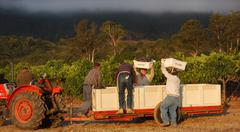 Oakville Station Merlot Harvest 9/10/13 Stock Photos