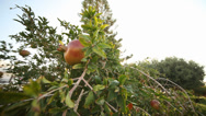 Stock Video Footage of Pomegranate at tree