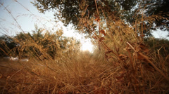 Dry Grass with Sun Stock Footage