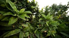 Lime Tree Stock Footage