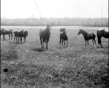 1927 - Horses At Breeding Farm 01 Stock Footage