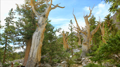 Bristlecone pines grove time lapse Stock Footage