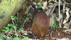Agouti in wood Stock Footage