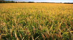 Rice field in summer season Stock Footage