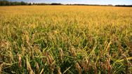 Rice field in summer season Stock Footage