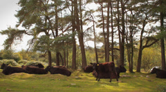 Field of Cows Relaxing by Trees on Dartmoor, England Stock Footage