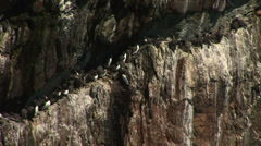 Auks on a cliff in England Stock Footage