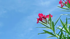 Red oleander Stock Footage