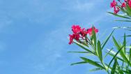 Stock Video Footage of red oleander
