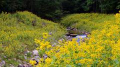 Rocky creek yellow wild flower bed - stock photo
