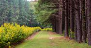 Stock Photo of pine trees wild flowers line path