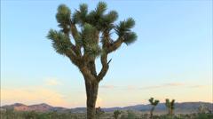 Joshua Tree at sunset Stock Footage