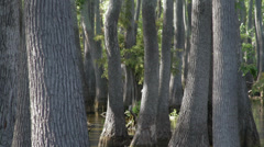 Cypress trees tilt down to shimmering water Stock Footage
