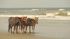 Wild Horses on Corolla Beach taking a sunset stroll Stock Footage