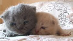 British pedigree kittens of different colors Stock Footage