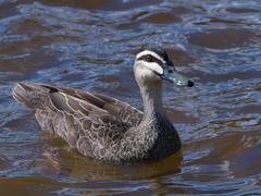 Duck alert Stock Photos