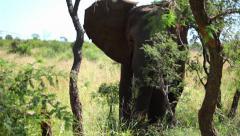 Elephant In Wild 06 HD Stock Footage