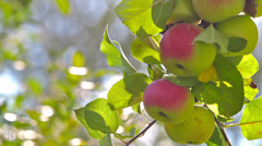 Stock Video Footage of ripe apples on a branch
