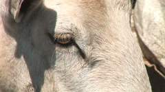 Close up goat head eye Stock Footage