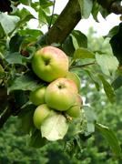 Apples on tree branch Stock Photos