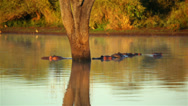 Stock Video Footage of Hippos In Lagoon 03 HD