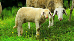 Sheeps on a field Stock Footage