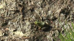 Moor frog jumping away Stock Footage
