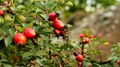 Bush of wild rose Stock Footage