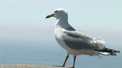 Herring gull on wall Stock Footage