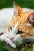 Beautiful white - red cat dreams of green grass - stock photo