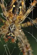 Spider (araneus diadematus) Stock Photos